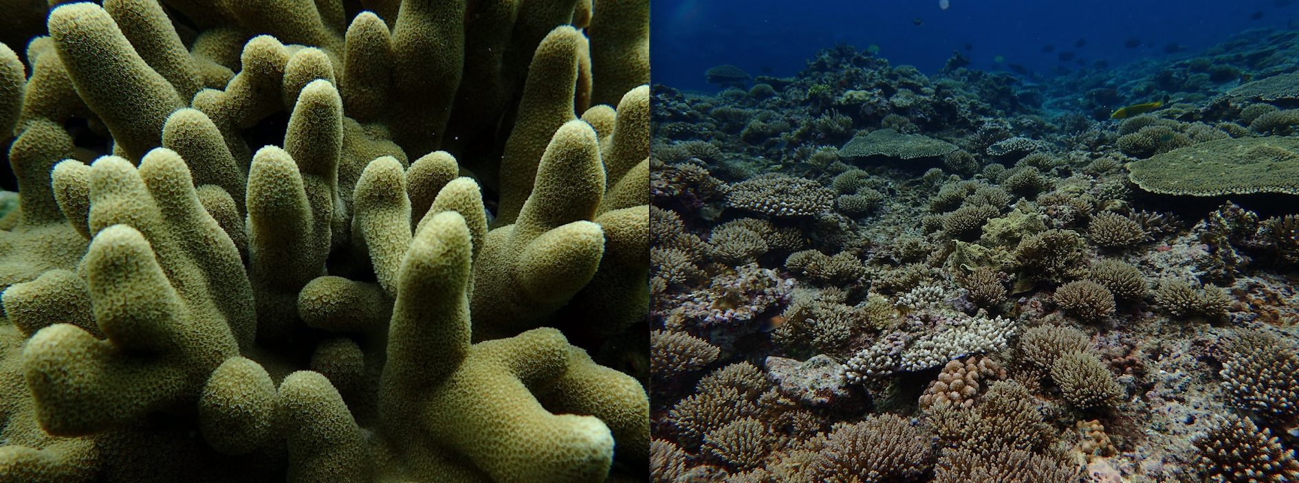 Side by side images of coral reefs. On the left is a close up image showing dozens of rounded green branches covered in thousands of tiny tentacled discs. On the right is a zoomed out image of hundreds of branching corals packed densely on the sea floor