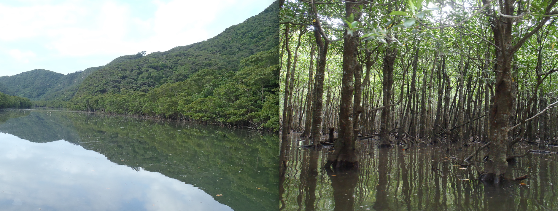 Two images side by side. On the left is a photograph of a dense forest at the edge of calm reflective water. On the right is a photo taken from within a forest densely packed with straight slender trees that have their bases submerged in calm reflective water