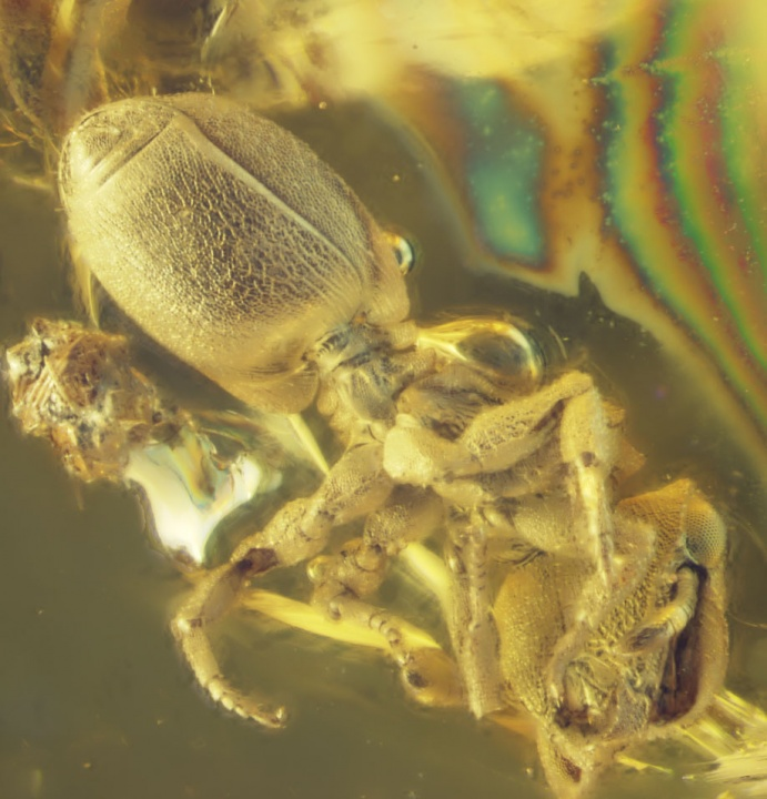 A fossil ant of the genus Cephalotes, encased in amber.