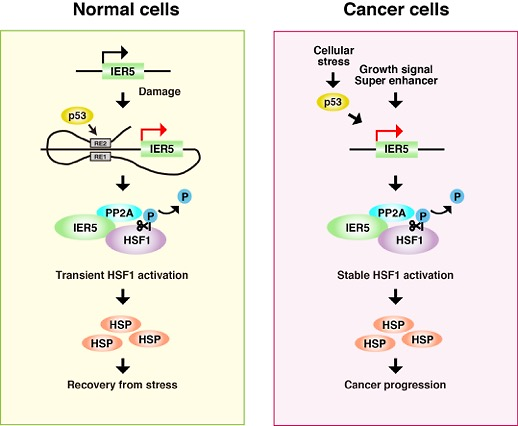 IER5 is a p53-reguated activator of HSF1 that contributes to